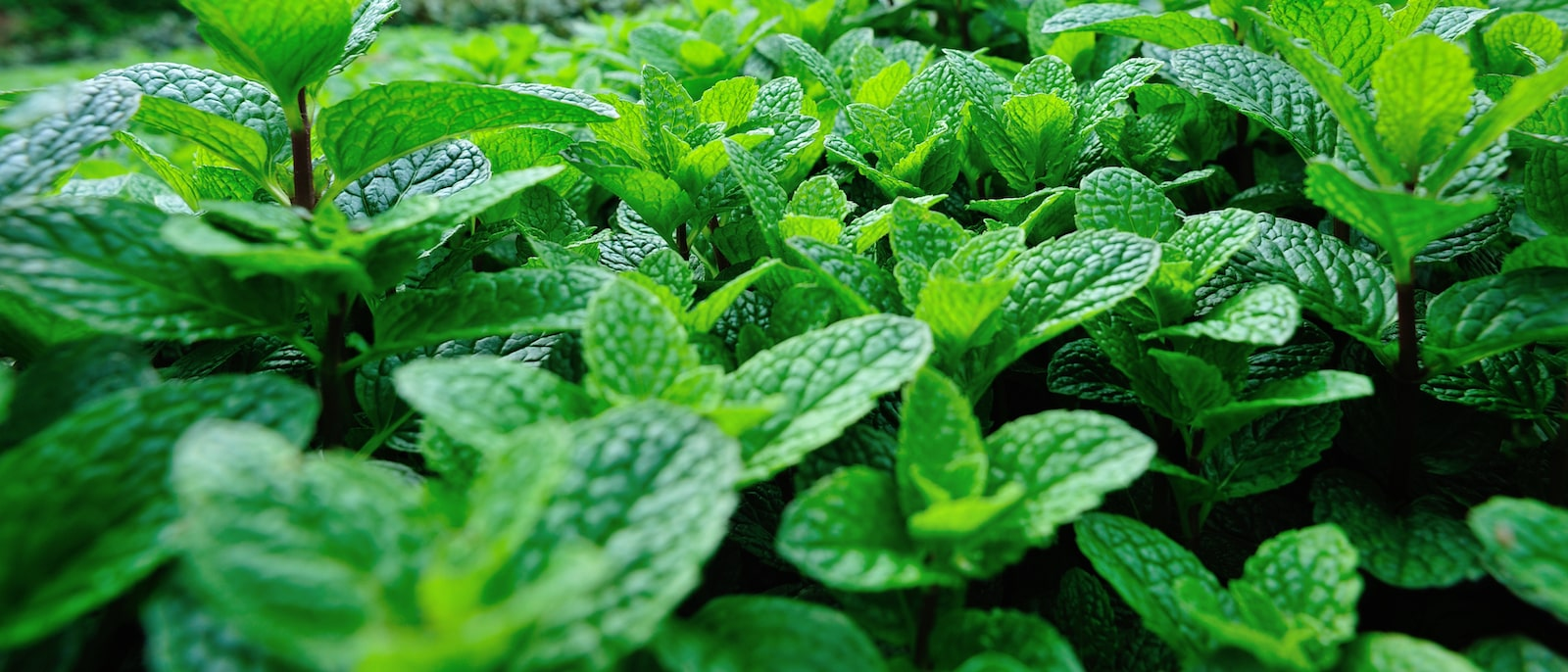 The Top 5 Health Benefits of Mint